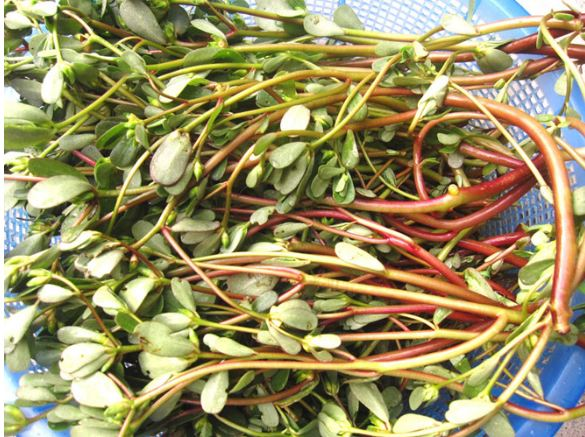 rau trường thọ, những loại rau được coi là trường thọ, mọc đầy ở việt nam