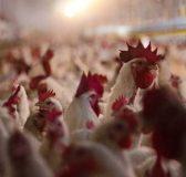 Thịt gà tẩy rửa bằng Clo của Mỹ không đảm bảo an toàn thực phẩm