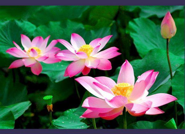 Mơ thấy hoa sen